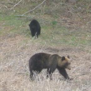 知床の親子熊